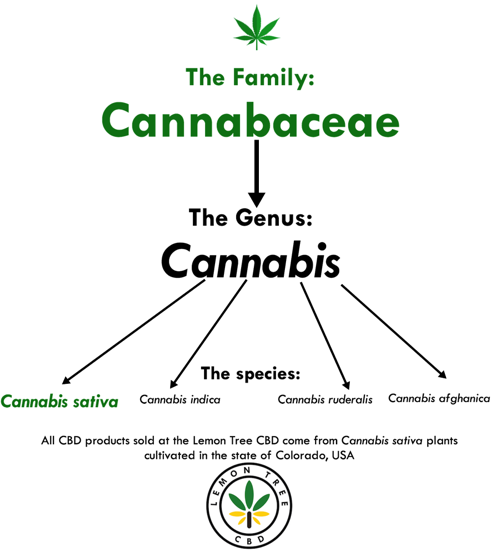 cannabaceae infographic